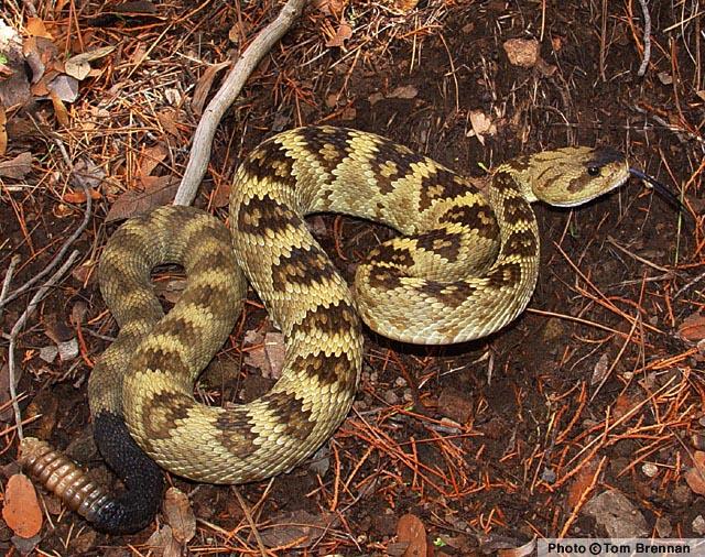 black-tailed_rattlesnake