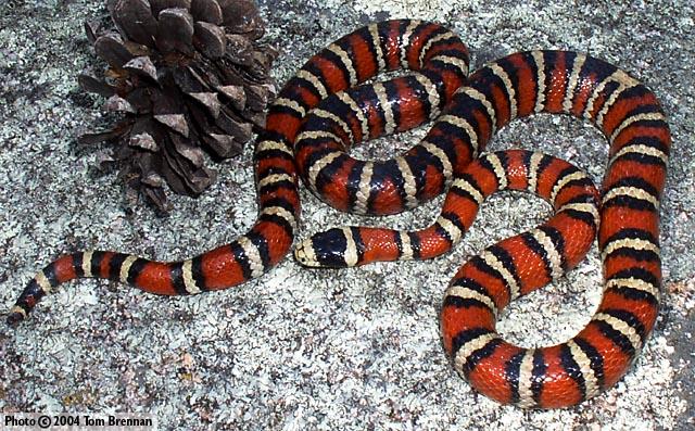 sonoran_mountain_king_snake
