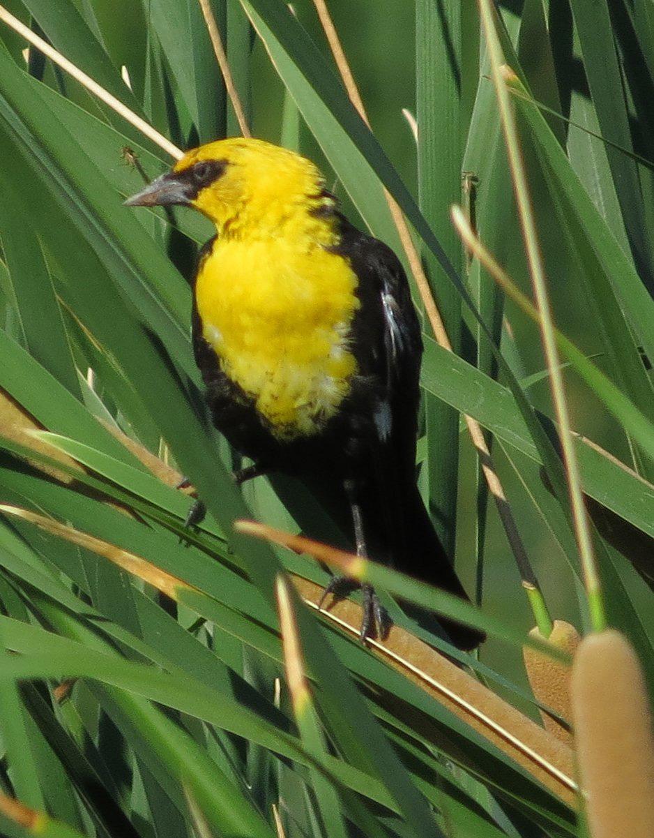 yellow headed blackbird by stewart boots