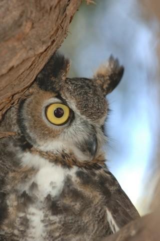 great_horned_owl-ga-azgfd
