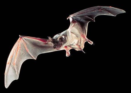 Tadarida_brasiliensis_bat